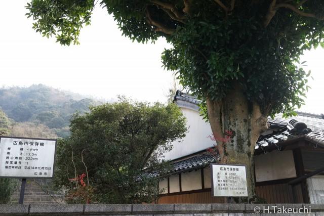 保存樹 タラヨウ